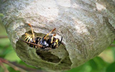 Que faire en présence d'un nid de guêpes ?
