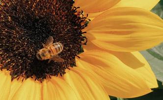 Différences entre abeille et guêpe