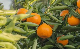 Différences entre mandarine et clémentine